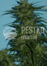 Blue Hawaiian Sativa Reg