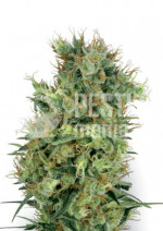 Cali Orange Bud Reg