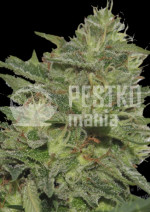 Original cheese (IBL) Fem