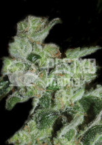 Pineapple Sativa Fem