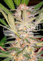 S.A.D. Sweet Afghani Delicious (F1 Fast Version)