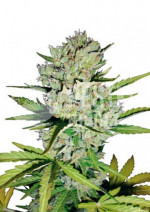 Super Skunk Automatic